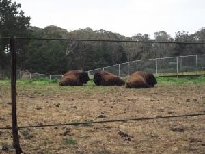 Bison at Golden Gate Park
