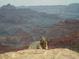 squirrel-grand-canyon