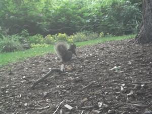 chicago-squirrel