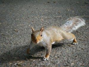 centralpark-squirrel
