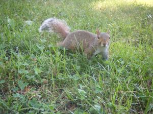 central-park-squirrel