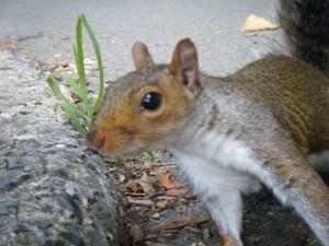 squirrel-newyork