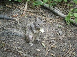 thief-squirrel-yosemite