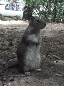 yosemite-squirrel