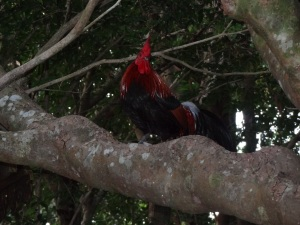 chicken_in_tree