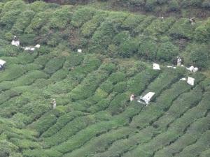 tea_harvesters