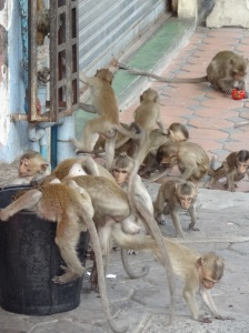 lopburi-monkeys