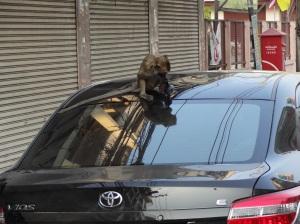 monkey-destroying-car